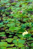 Feuilles fraîches et feuilles fanées dans le domaine de ferme de lotus Images stock