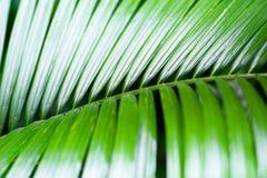 Feuilles fraîches vertes de palmier de noix de coco Images stock