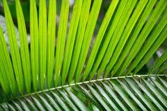 Feuilles fraîches vertes de palmier de noix de coco Photo libre de droits