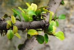 Feuilles fraîches vertes sur la tige photo stock