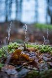 Feuilles givrées dans la forêt Images stock