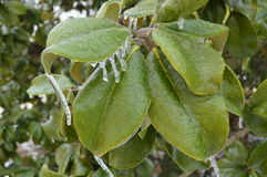 Feuilles glaciales de vert Image libre de droits