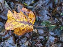 Feuilles humides ambres de chute Photographie stock