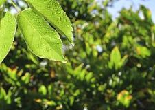 Feuilles humides de nectarine Photos stock