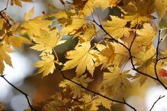 Feuilles jaunes d'érable Image stock