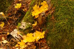 Feuilles jaunes d'érable en parc en automne photo libre de droits