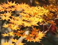 Feuilles jaunes d'érable japonais photos stock