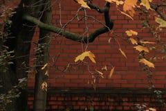 Feuilles jaunes d'érable sur un arbre tombé Photos stock