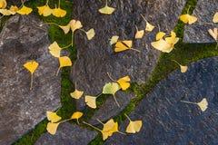 Feuilles jaunes de ginkgo sur des pierres de jardin Image libre de droits