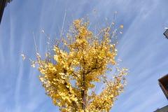 Feuilles jaunes de Ginkgo sur l'arbre Image libre de droits