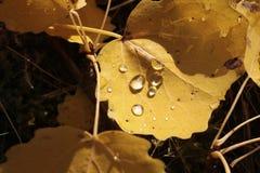 Feuilles jaunes de peuplier avec la rosée de matin Images stock