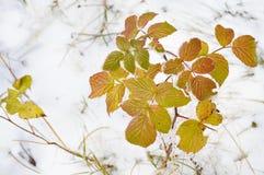 Feuilles jaunes de raspberry's dans la neige Photographie stock