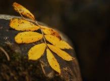 Feuilles jaunes sur une roche Images libres de droits