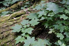Feuilles juvéniles d'arbre d'érable en été Images stock
