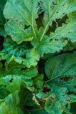 feuilles Lingot-mangées de rhubarbe Fermez-vous vers le haut, foyer sélectif Images libres de droits