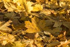 Feuilles lumineuses et colorées d'arbre en automne image libre de droits