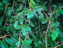 Feuilles luxuriantes de vert s'élevant sur des vignes dehors en nature Photo libre de droits