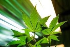 Feuilles médicales de marijuana image libre de droits