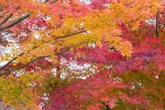Feuilles multiples colorées d'érable de couleur photographie stock libre de droits