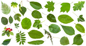 Feuilles naturelles de vert d'isolement sur le blanc Image libre de droits