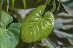 Feuilles naturelles tropicales de jeunes de Monstera avec la texture philodendron de Fente-feuille, feuillage tropical Configurat Image stock