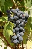 Feuilles noires de raisin et de vigne, 03, Piémont, Italie Photos libres de droits