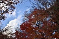 Feuilles oranges d'érable en automne Photo libre de droits