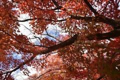 Feuilles oranges d'érable en automne Image libre de droits