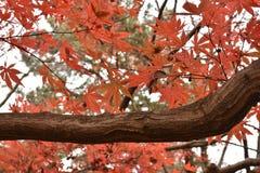 Feuilles oranges d'érable sur des arbres d'érable Image libre de droits