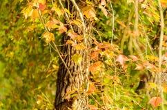 Feuilles oranges d'érable sur l'arbre photo stock