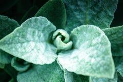 Feuilles pelucheuses vertes des fleurs photographie stock