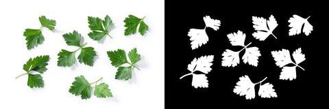 feuilles Plat-leaved de persil Image stock
