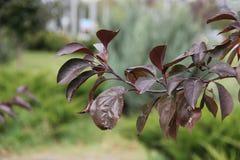 Feuilles pourpres d'automne de prune Photographie stock