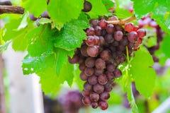 Feuilles pourpres de raisin dans les jardins extérieurs verts Photos stock
