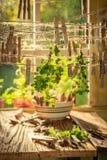 Feuilles récemment récoltées d'origan séchant dans le dessiccateur rusic images libres de droits