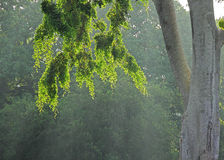 Feuilles rétro-éclairées d'arbre Image stock