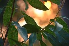 Feuilles rétro-éclairées de Waratah avec la lumière du soleil tachetée Photos stock