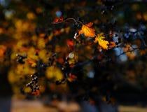 Feuilles rétro-éclairées lumineuses de couleur d'or en parc d'automne image libre de droits