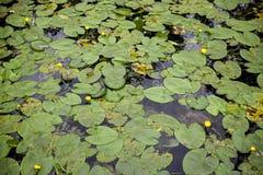 Feuilles rondes des nénuphars et des fleurs jaunes, sur la surface du lac Image stock