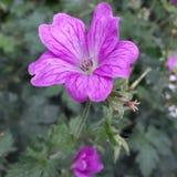 Feuilles roses de fleur et d'obscurité de pétales Photographie stock