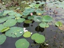 Feuilles roses de lotus et de vert dans un étang Image stock