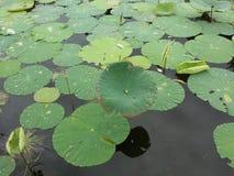 Feuilles roses de lotus et de vert dans un étang photographie stock