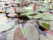 Feuilles roses de lotus et de vert dans un étang Photo stock