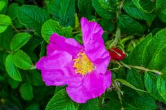 Feuilles roses de vert de Rosa Rugosa Beach Japanese Rose Photos stock