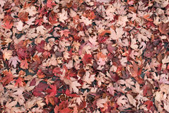 Feuilles rouge-brun Images stock