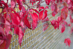 Feuilles rouge foncé Photographie stock