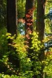 Feuilles rougeoyantes d'automne à la lumière du soleil Photographie stock libre de droits