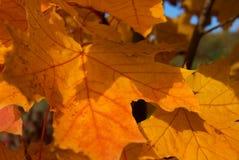 Feuilles rouges d'érable d'automne Photo stock