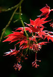 Feuilles rouges d'arbre d'érable de fullmoon photos stock
