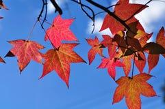 Feuilles rouges d'automne Images stock
